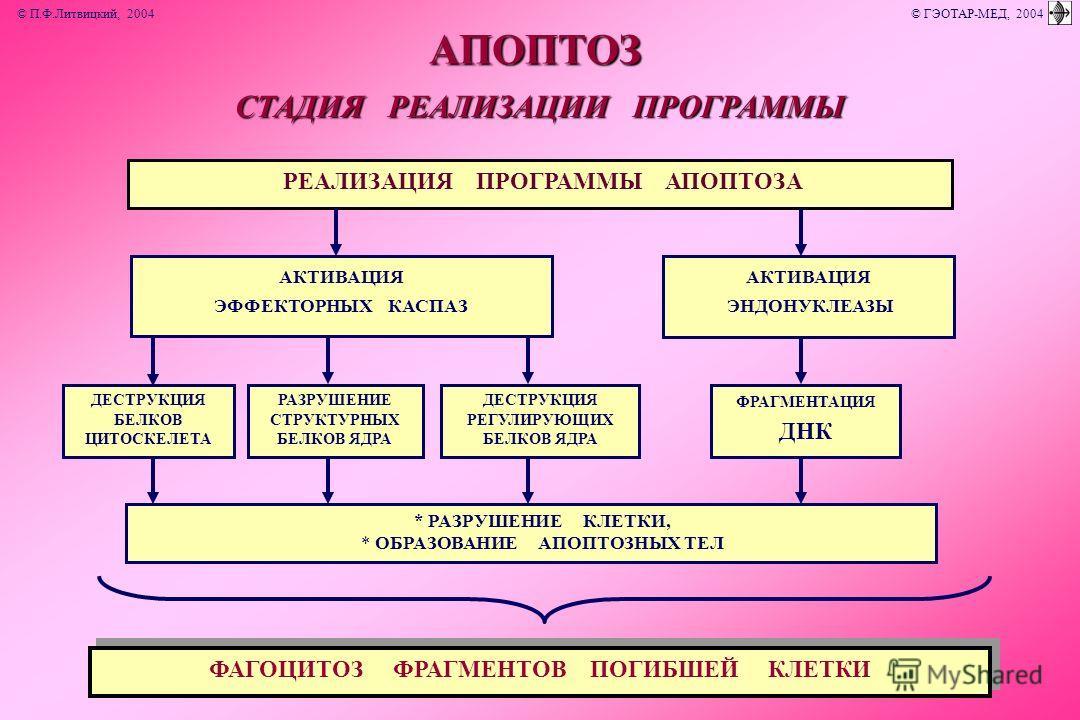 СТАДИЯ РЕАЛИЗАЦИИ ПРОГРАММЫ РЕАЛИЗАЦИЯ ПРОГРАММЫ АПОПТОЗА ДЕСТРУКЦИЯ БЕЛКОВ ЦИТОСКЕЛЕТААПОПТОЗ * РАЗРУШЕНИЕ КЛЕТКИ, * ОБРАЗОВАНИЕ АПОПТОЗНЫХ ТЕЛ ФАГОЦИТОЗ ФРАГМЕНТОВ ПОГИБШЕЙ КЛЕТКИ ФРАГМЕНТАЦИЯ ДНК ДЕСТРУКЦИЯ РЕГУЛИРУЮЩИХ БЕЛКОВ ЯДРА РАЗРУШЕНИЕ СТРУ