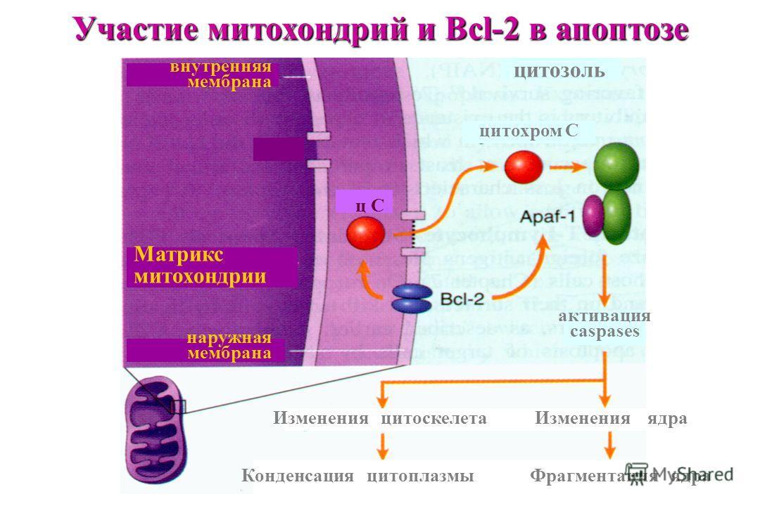 внутренняя мембрана наружная мембрана ц С Матрикс митохондрии цитозоль цитохром С активация caspases Изменения цитоскелетаИзменения ядра Конденсация цитоплазмыФрагментация ядра Участие митохондрий и Bcl-2 в апоптозе