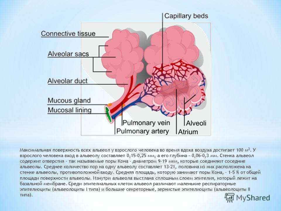 Максимальная поверхность всех альвеол у взрослого человека во время вдоха воздуха достигает 100 м 2. У взрослого человека вход в альвеолу составляет 0,15-0,25 мм, а его глубина - 0,06-0,3 мм. Стенка альвеол содержит отверстия - так называемые поры Ко