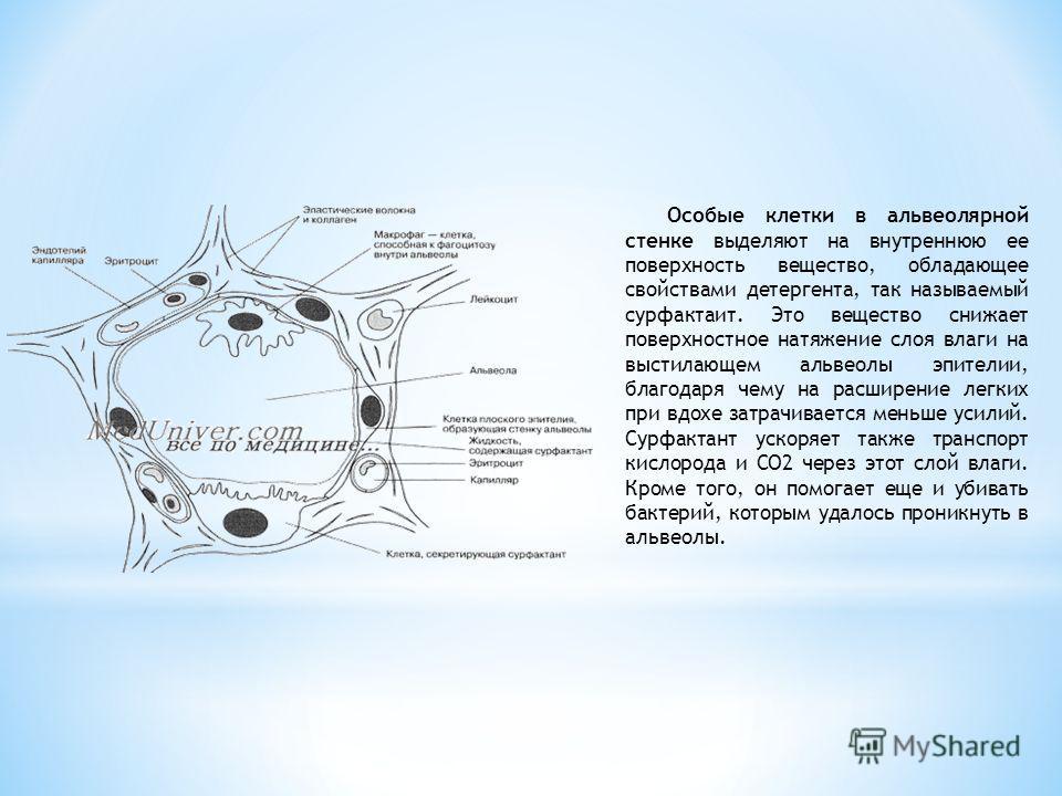Особые клетки в альвеолярной стенке выделяют на внутреннюю ее поверхность вещество, обладающее свойствами детергента, так называемый сурфактаит. Это вещество снижает поверхностное натяжение слоя влаги на выстилающем альвеолы эпителии, благодаря чему