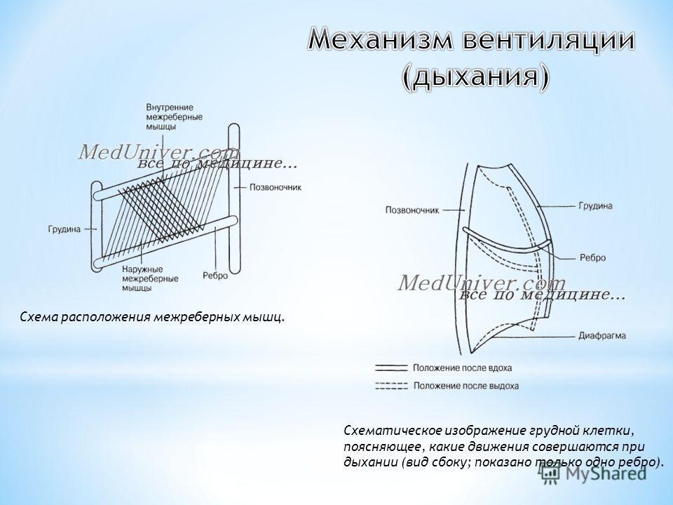 Схематическое изображение грудной клетки, поясняющее, какие движения совершаются при дыхании (вид сбоку; показано только одно ребро). Схема расположения межреберных мышц.