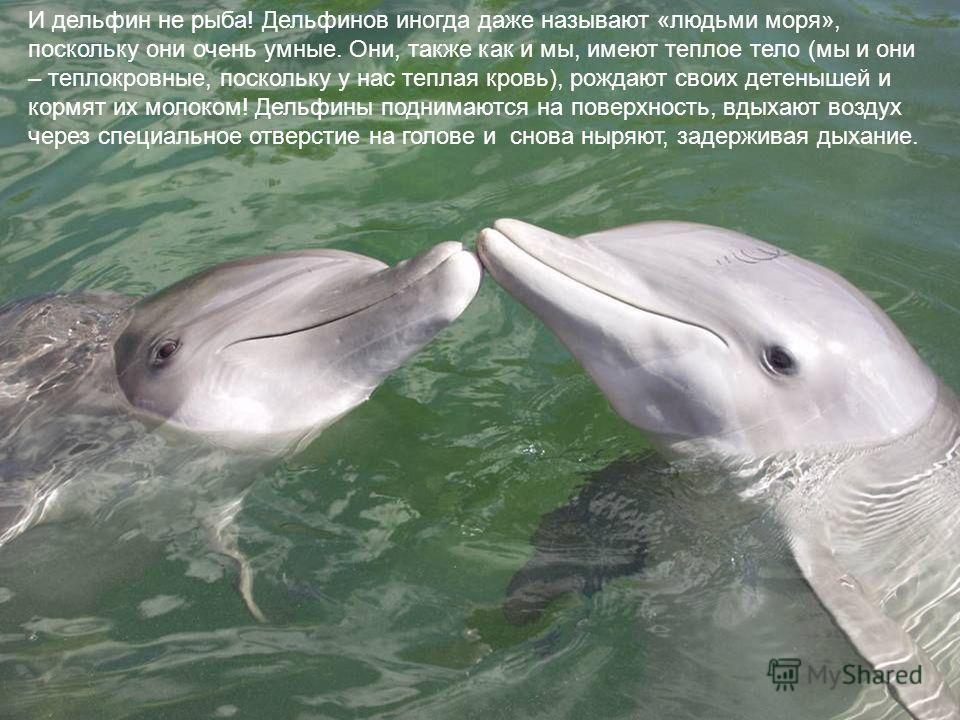 И дельфин не рыба! Дельфинов иногда даже называют «людьми моря», поскольку они очень умные. Они, также как и мы, имеют теплое тело (мы и они – теплокровные, поскольку у нас теплая кровь), рождают своих детенышей и кормят их молоком! Дельфины поднимаю