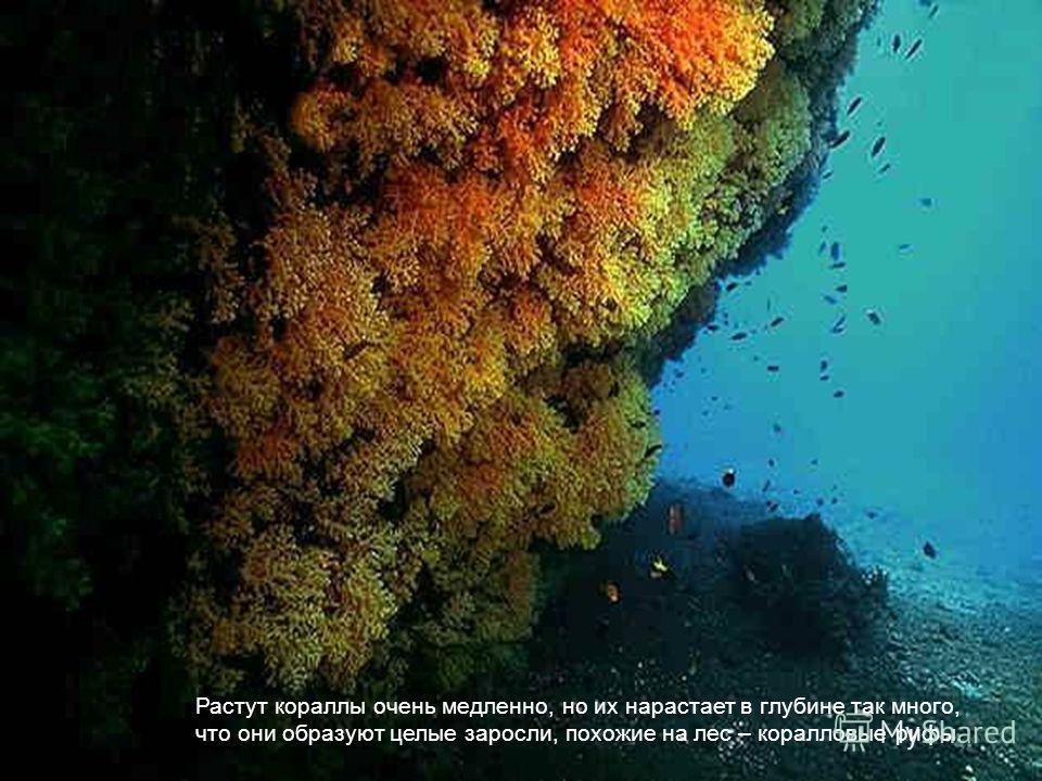 Растут кораллы очень медленно, но их нарастает в глубине так много, что они образуют целые заросли, похожие на лес – коралловые рифы.