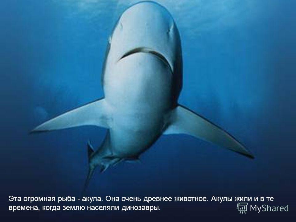 Эта огромная рыба - акула. Она очень древнее животное. Акулы жили и в те времена, когда землю населяли динозавры.