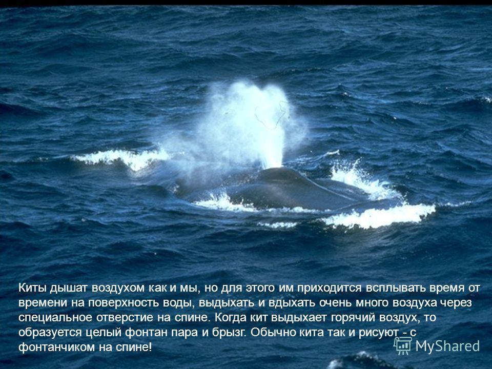 Киты дышат воздухом как и мы, но для этого им приходится всплывать время от времени на поверхность воды, выдыхать и вдыхать очень много воздуха через специальное отверстие на спине. Когда кит выдыхает горячий воздух, то образуется целый фонтан пара и