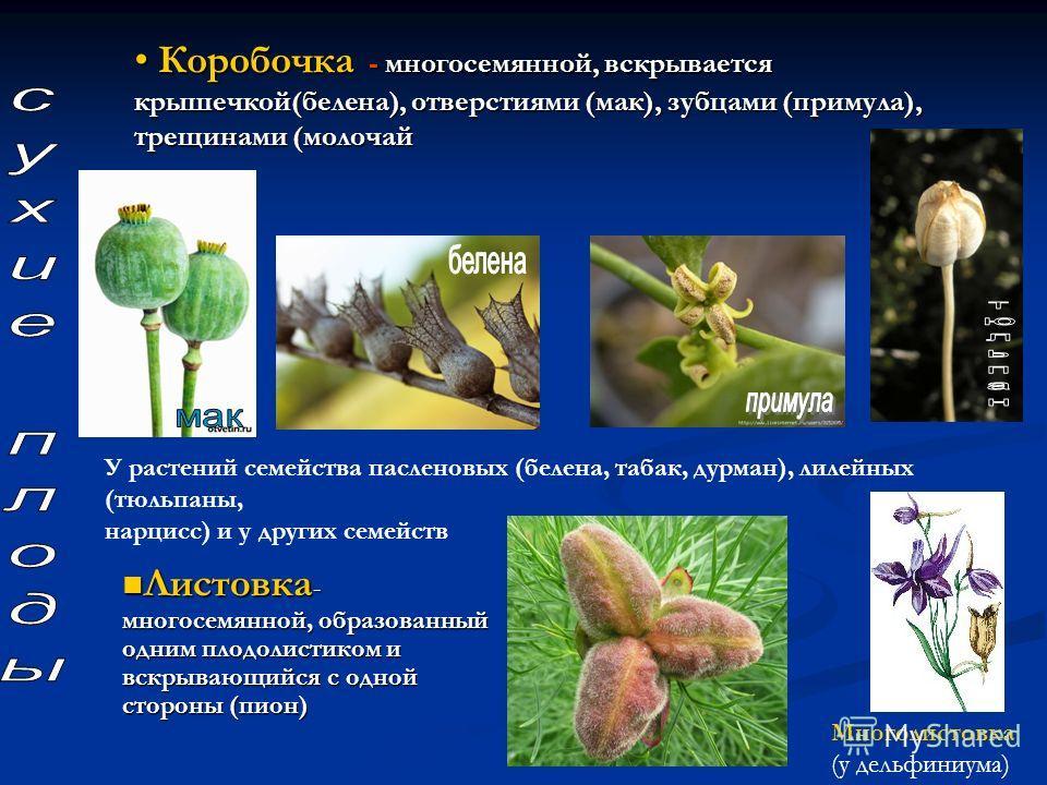 Коробочка - многосемянной, вскрывается крышечкой(белена), отверстиями (мак), зубцами (примула), трещинами (молочай Коробочка - многосемянной, вскрывается крышечкой(белена), отверстиями (мак), зубцами (примула), трещинами (молочай У растений семейства