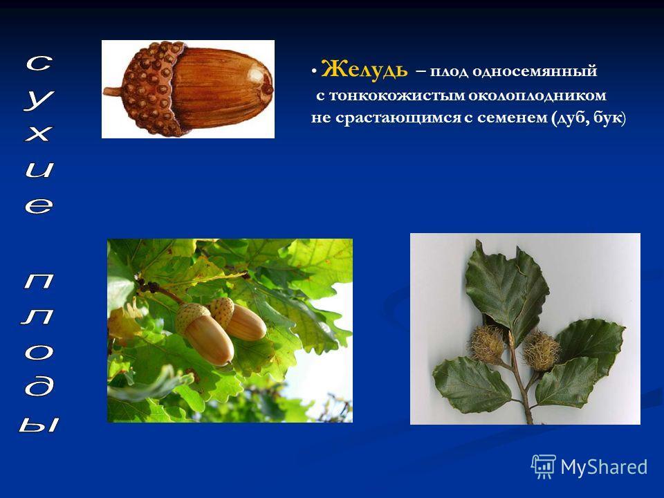 Желудь – плод односемянный с тонкокожистым околоплодником не срастающимся с семенем (дуб, бук )