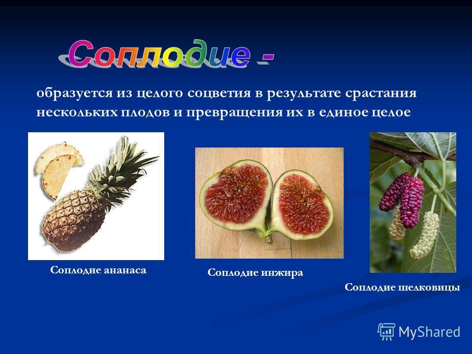образуется из целого соцветия в результате срастания нескольких плодов и превращения их в единое целое Соплодие инжира Соплодие ананаса Соплодие шелковицы
