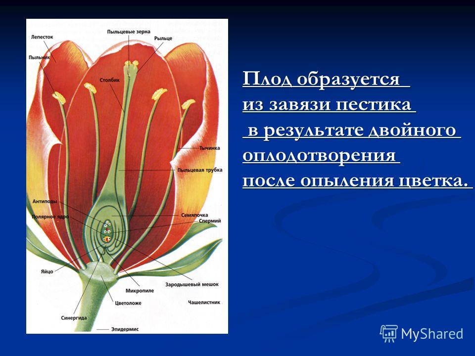 Плод образуется из завязи пестика в результате двойного в результате двойногооплодотворения после опыления цветка.
