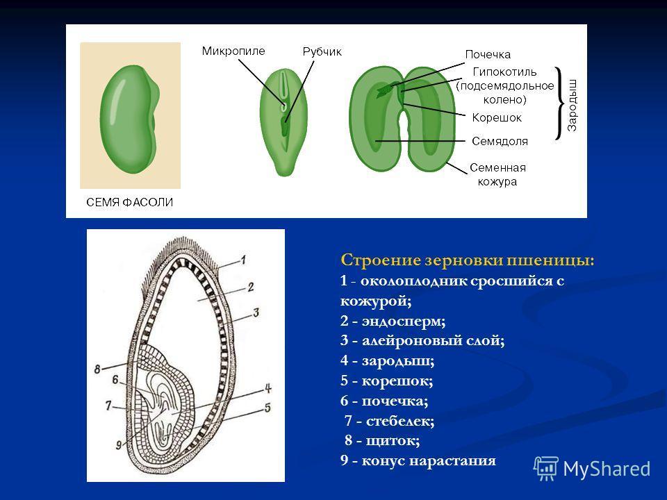 Строение зерновки пшеницы: 1 - околоплодник сросшийся с кожурой; 2 - эндосперм; 3 - алейроновый слой; 4 - зародыш; 5 - корешок; 6 - почечка; 7 - стебелек; 8 - щиток; 9 - конус нарастания