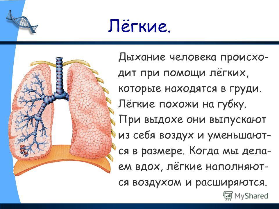 Лёгкие. Дыхание человека происхо- дит при помощи лёгких, которые находятся в груди. Лёгкие похожи на губку. При выдохе они выпускают из себя воздух и уменьшают- ся в размере. Когда мы дела- ем вдох, лёгкие наполняют- ся воздухом и расширяются.