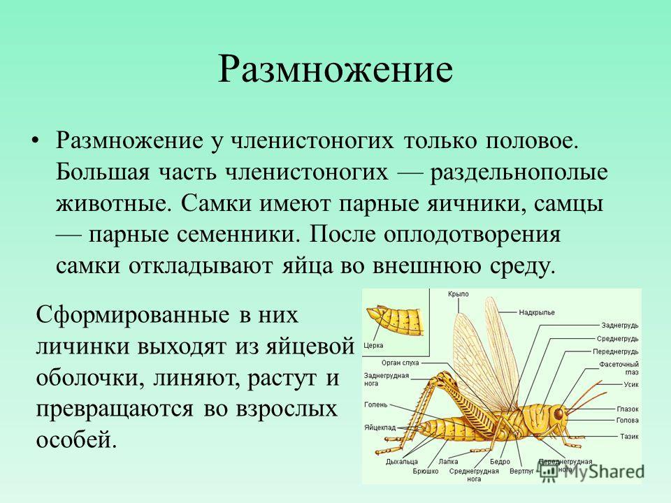 Размножение Размножение у членистоногих только половое. Большая часть членистоногих раздельнополые животные. Самки имеют парные яичники, самцы парные семенники. После оплодотворения самки откладывают яйца во внешнюю среду. Сформированные в них личинк