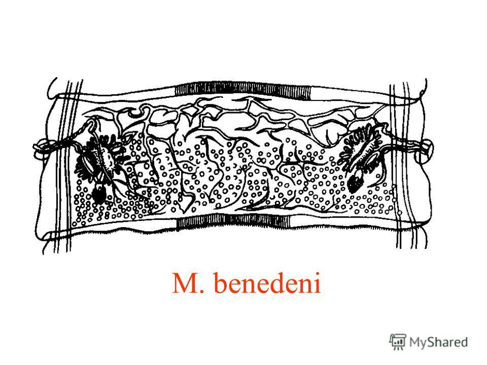 M. benedeni