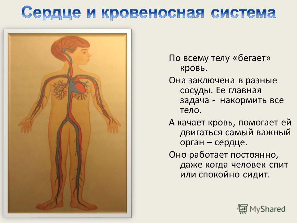 По всему телу «бегает» кровь. Она заключена в разные сосуды. Ее главная задача - накормить все тело. А качает кровь, помогает ей двигаться самый важный орган – сердце. Оно работает постоянно, даже когда человек спит или спокойно сидит.