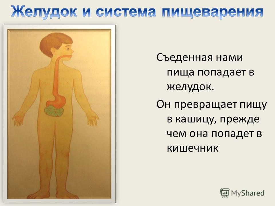 Съеденная нами пища попадает в желудок. Он превращает пищу в кашицу, прежде чем она попадет в кишечник