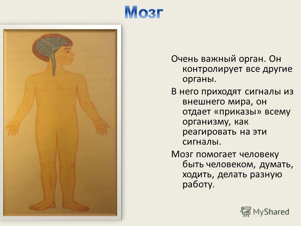 Очень важный орган. Он контролирует все другие органы. В него приходят сигналы из внешнего мира, он отдает «приказы» всему организму, как реагировать на эти сигналы. Мозг помогает человеку быть человеком, думать, ходить, делать разную работу.