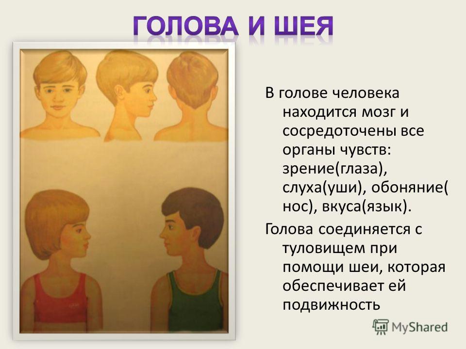 В голове человека находится мозг и сосредоточены все органы чувств: зрение(глаза), слуха(уши), обоняние( нос), вкуса(язык). Голова соединяется с туловищем при помощи шеи, которая обеспечивает ей подвижность