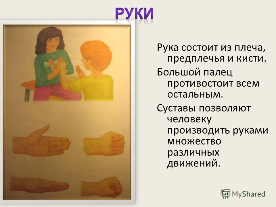 Рука состоит из плеча, предплечья и кисти. Большой палец противостоит всем остальным. Суставы позволяют человеку производить руками множество различных движений.