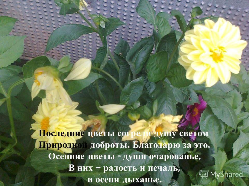 Последние цветы согрели душу светом Природной доброты. Благодарю за это. Осенние цветы - души очарованье, В них – радость и печаль, и осени дыханье.