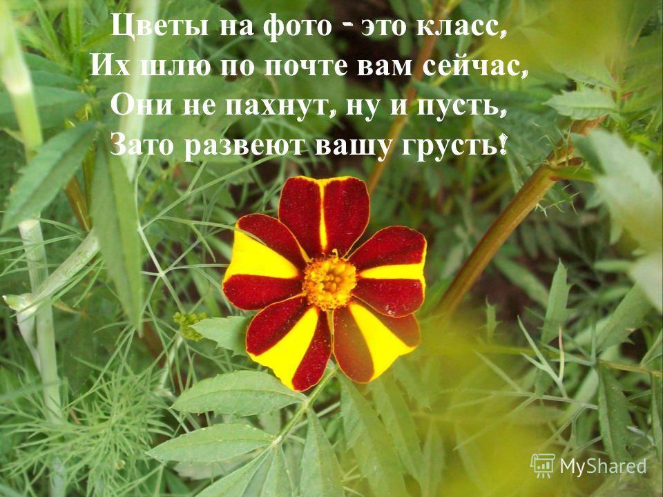 Цветы на фото - это класс, Их шлю по почте вам сейчас, Они не пахнут, ну и пусть, Зато развеют вашу грусть !
