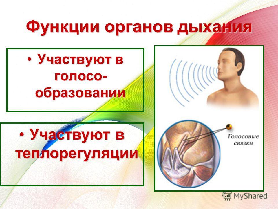 Функции органов дыхания Участвуют в голосо- образованииУчаствуют в голосо- образовании Участвуют в теплорегуляцииУчаствуют в теплорегуляции
