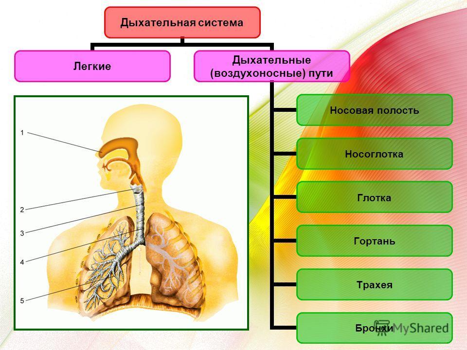 Дыхательная система Легкие Дыхательные (воздухоносные) пути Носовая полость Носоглотка Глотка Гортань Трахея Бронхи