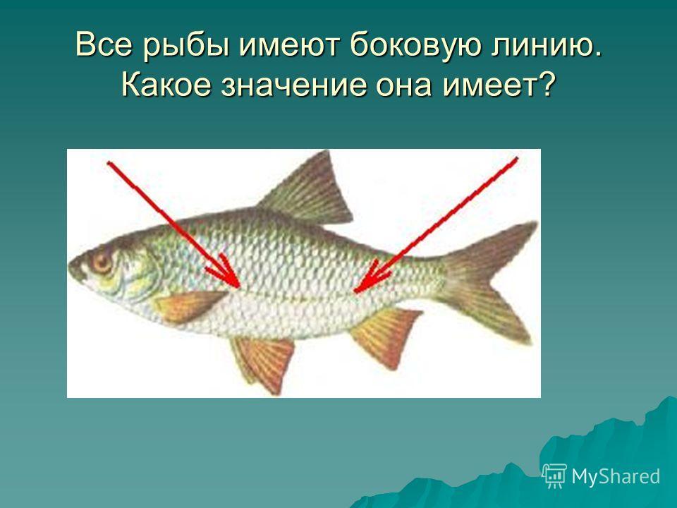 Все рыбы имеют боковую линию. Какое значение она имеет?