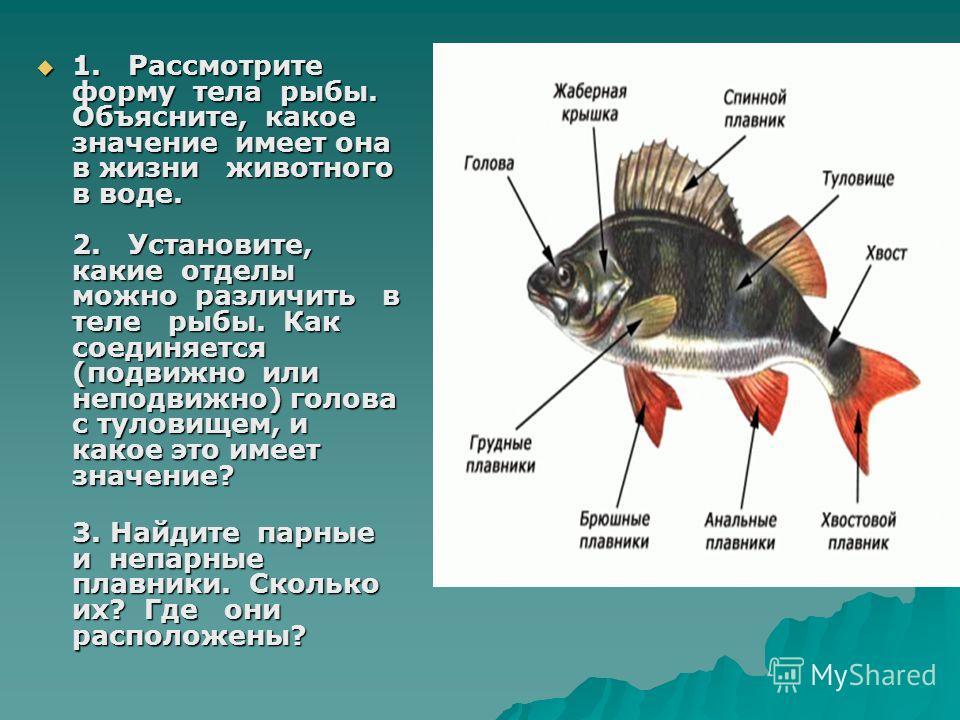 1. Рассмотрите форму тела рыбы. Объясните, какое значение имеет она в жизни животного в воде. 2. Установите, какие отделы можно различить в теле рыбы. Как соединяется (подвижно или неподвижно) голова с туловищем, и какое это имеет значение? 1. Рассмо
