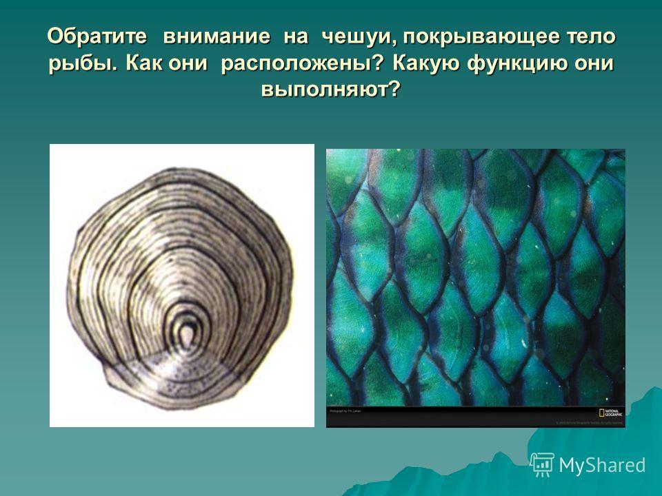 Обратите внимание на чешуи, покрывающее тело рыбы. Как они расположены? Какую функцию они выполняют?