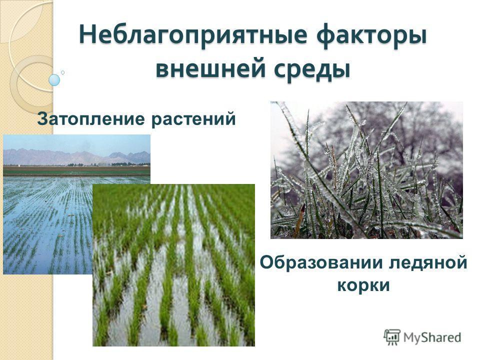 Неблагоприятные факторы внешней среды Затопление растений Образовании ледяной корки