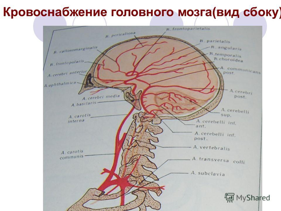 Кровоснабжение головного мозга(вид сбоку)