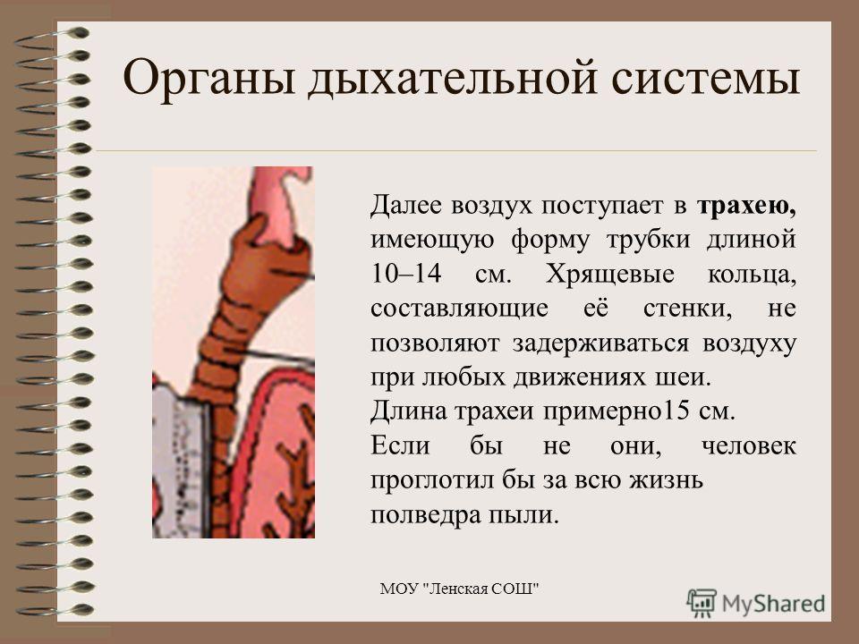 Далее воздух поступает в трахею, имеющую форму трубки длиной 10–14 см. Хрящевые кольца, составляющие её стенки, не позволяют задерживаться воздуху при любых движениях шеи. Длина трахеи примерно15 см. Если бы не они, человек проглотил бы за всю жизнь