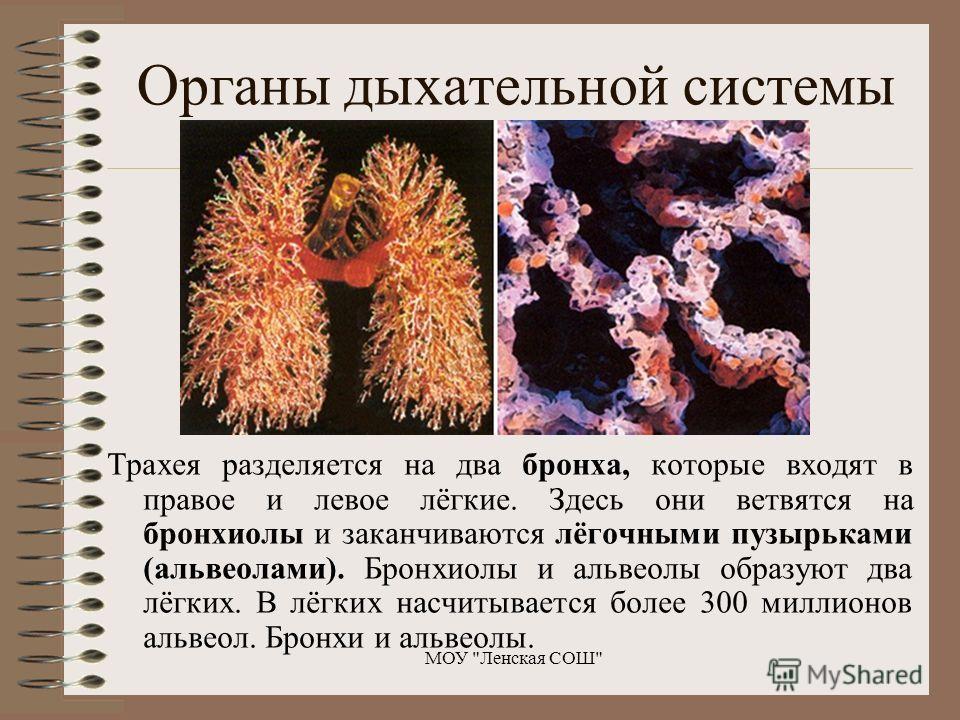 Трахея разделяется на два бронха, которые входят в правое и левое лёгкие. Здесь они ветвятся на бронхиолы и заканчиваются лёгочными пузырьками (альвеолами). Бронхиолы и альвеолы образуют два лёгких. В лёгких насчитывается более 300 миллионов альвеол.
