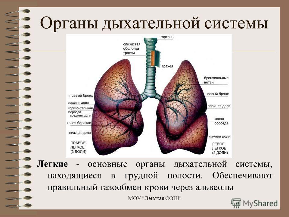 Легкие - основные органы дыхательной системы, находящиеся в грудной полости. Обеспечивают правильный газообмен крови через альвеолы МОУ Ленская СОШ Органы дыхательной системы