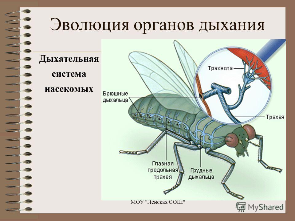 Эволюция органов дыхания Дыхательная система насекомых МОУ Ленская СОШ