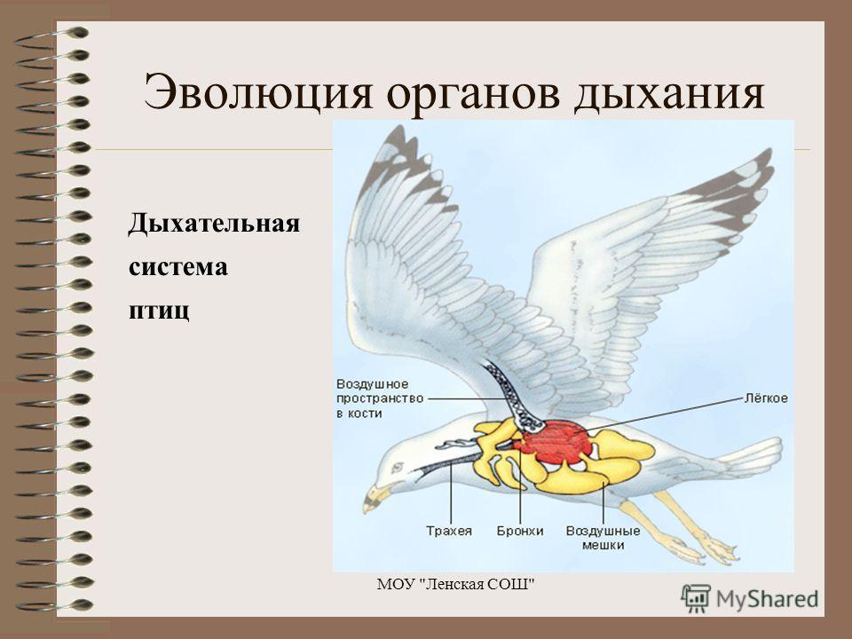 Дыхательная система птиц МОУ Ленская СОШ Эволюция органов дыхания