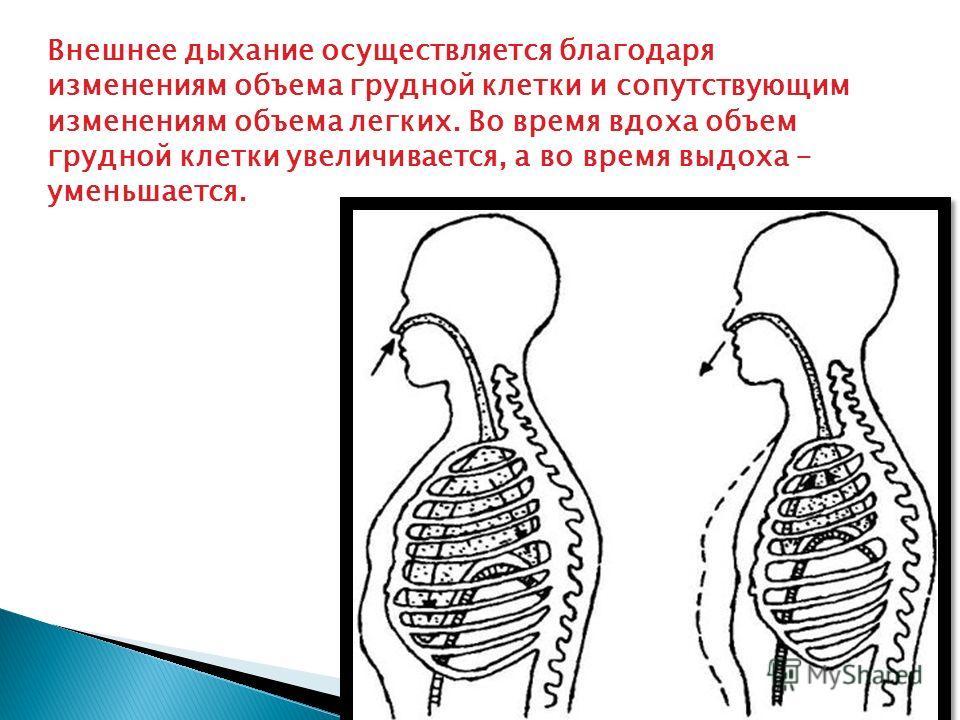 Внешнее дыхание осуществляется благодаря изменениям объема грудной клетки и сопутствующим изменениям объема легких. Во время вдоха объем грудной клетки увеличивается, а во время выдоха - уменьшается.