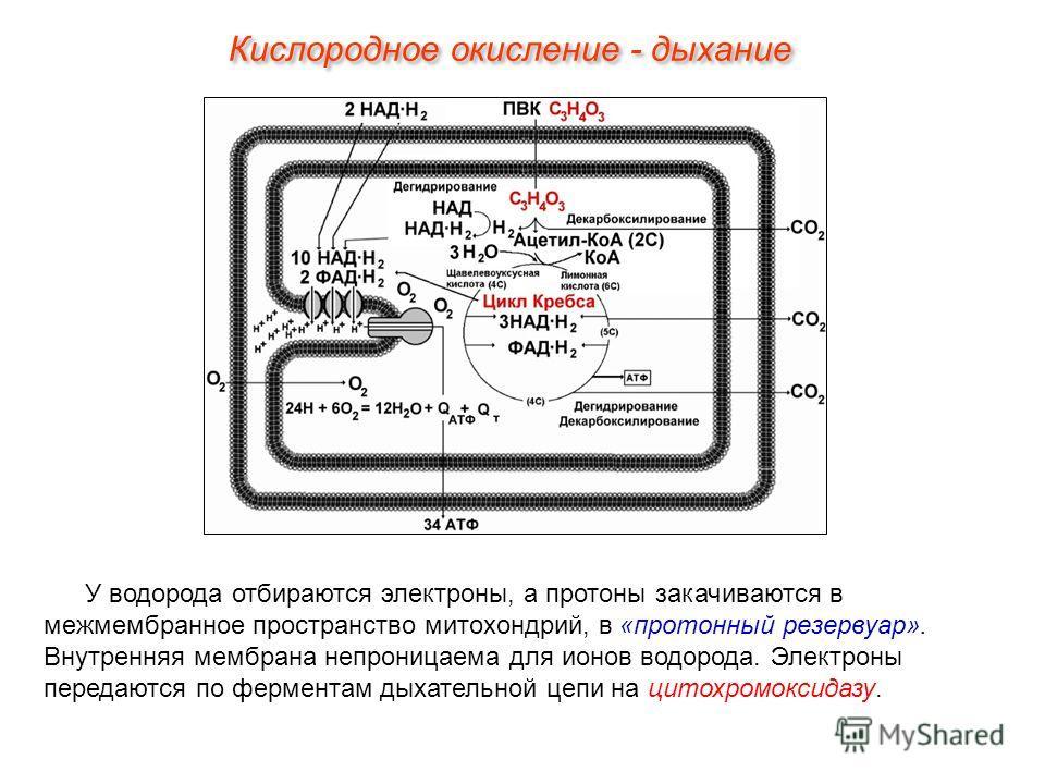 У водорода отбираются электроны, а протоны закачиваются в межмембранное пространство митохондрий, в «протонный резервуар». Внутренняя мембрана непроницаема для ионов водорода. Электроны передаются по ферментам дыхательной цепи на цитохромоксидазу. Ки