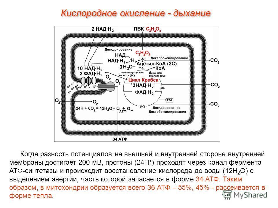 Когда разность потенциалов на внешней и внутренней стороне внутренней мембраны достигает 200 мВ, протоны (24Н + ) проходят через канал фермента АТФ-синтетазы и происходит восстановление кислорода до воды (12Н 2 О) с выделением энергии, часть которой