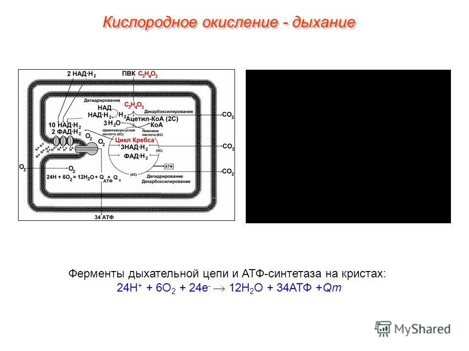 Ферменты дыхательной цепи и АТФ-синтетаза на кристах: 24Н + + 6О 2 + 24е - 12Н 2 О + 34АТФ +Qт Кислородное окисление - дыхание