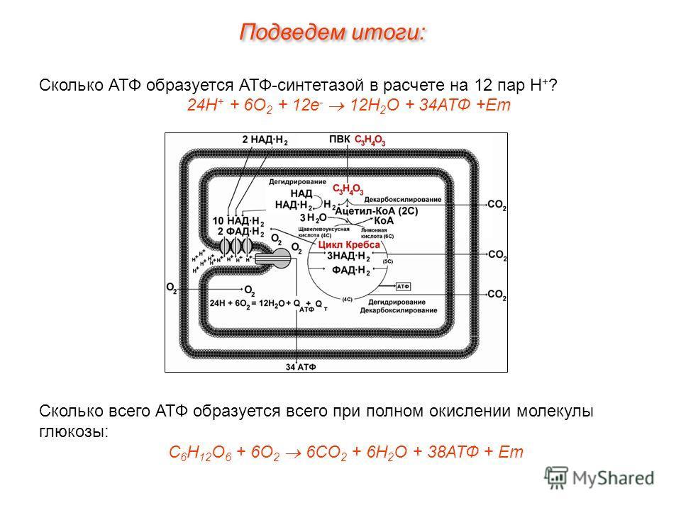 Сколько АТФ образуется АТФ-синтетазой в расчете на 12 пар Н + ? 24Н + + 6О 2 + 12е - 12Н 2 О + 34АТФ +Ет Сколько всего АТФ образуется всего при полном окислении молекулы глюкозы: С 6 Н 12 О 6 + 6О 2 6СО 2 + 6Н 2 О + 38АТФ + Ет Подведем итоги: