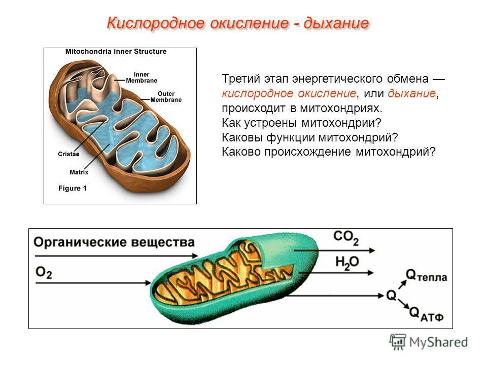 Третий этап энергетического обмена кислородное окисление, или дыхание, происходит в митохондриях. Как устроены митохондрии? Каковы функции митохондрий? Каково происхождение митохондрий? Кислородное окисление - дыхание
