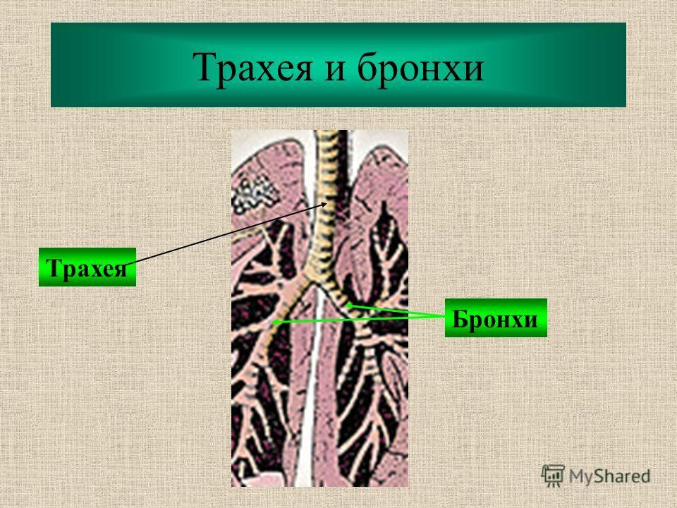 Трахея и бронхи Трахея Бронхи