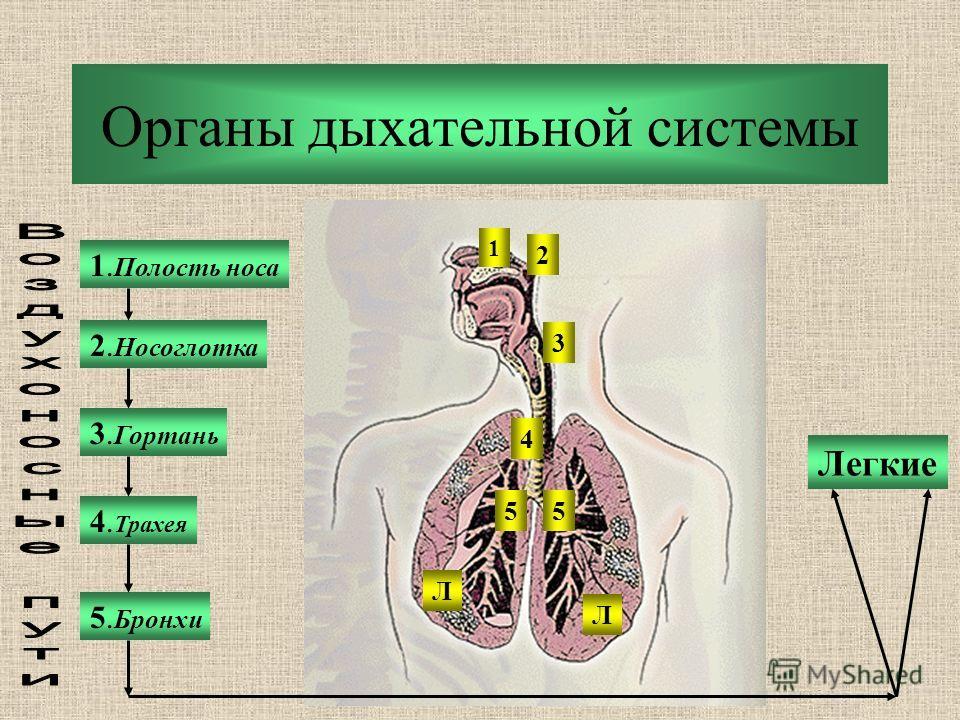Органы дыхательной системы 1. Полость носа 2. Носоглотка 3. Гортань 5. Бронхи 4. Трахея Легкие 1 2 3 4 55 Л Л