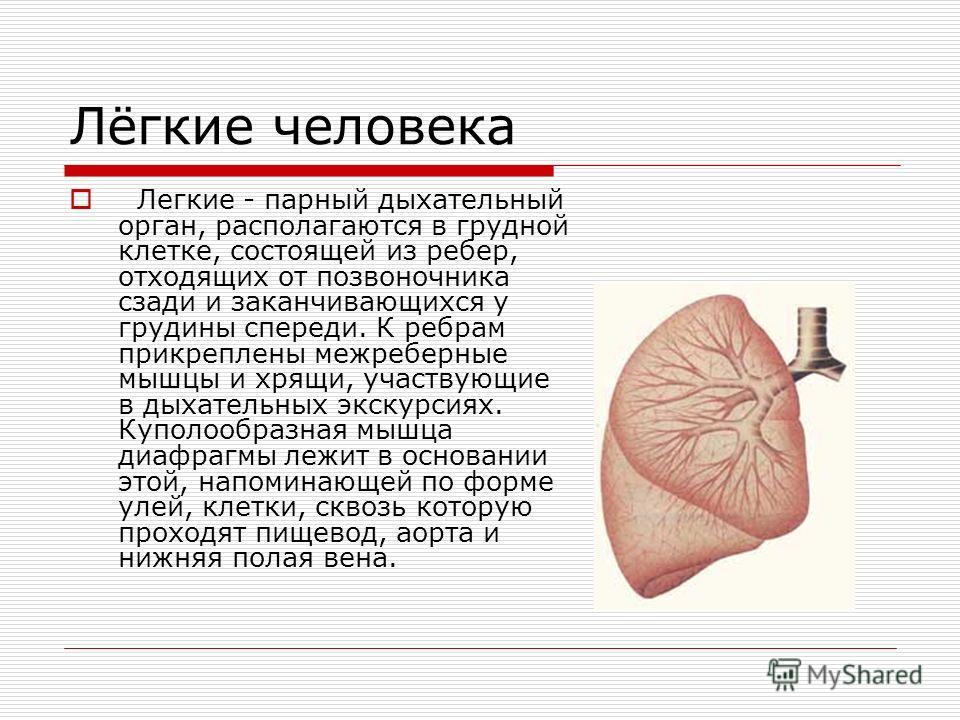Лёгкие человека Легкие - парный дыхательный орган, располагаются в грудной клетке, состоящей из ребер, отходящих от позвоночника сзади и заканчивающихся у грудины спереди. К ребрам прикреплены межреберные мышцы и хрящи, участвующие в дыхательных экск