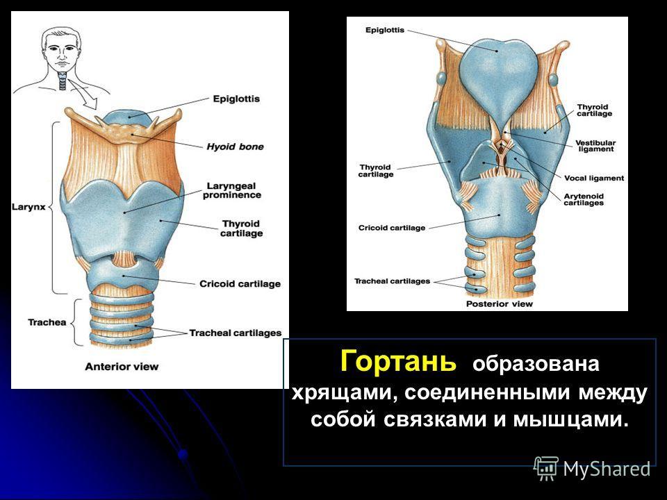 Гортань образована хрящами, соединенными между собой связками и мышцами.