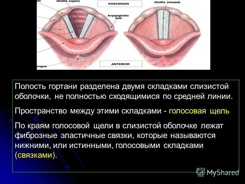 Полость гортани разделена двумя складками слизистой оболочки, не полностью сходящимися по средней линии. Пространство между этими складками - голосовая щель По краям голосовой щели в слизистой оболочке лежат фиброзные эластичные связки, которые назыв