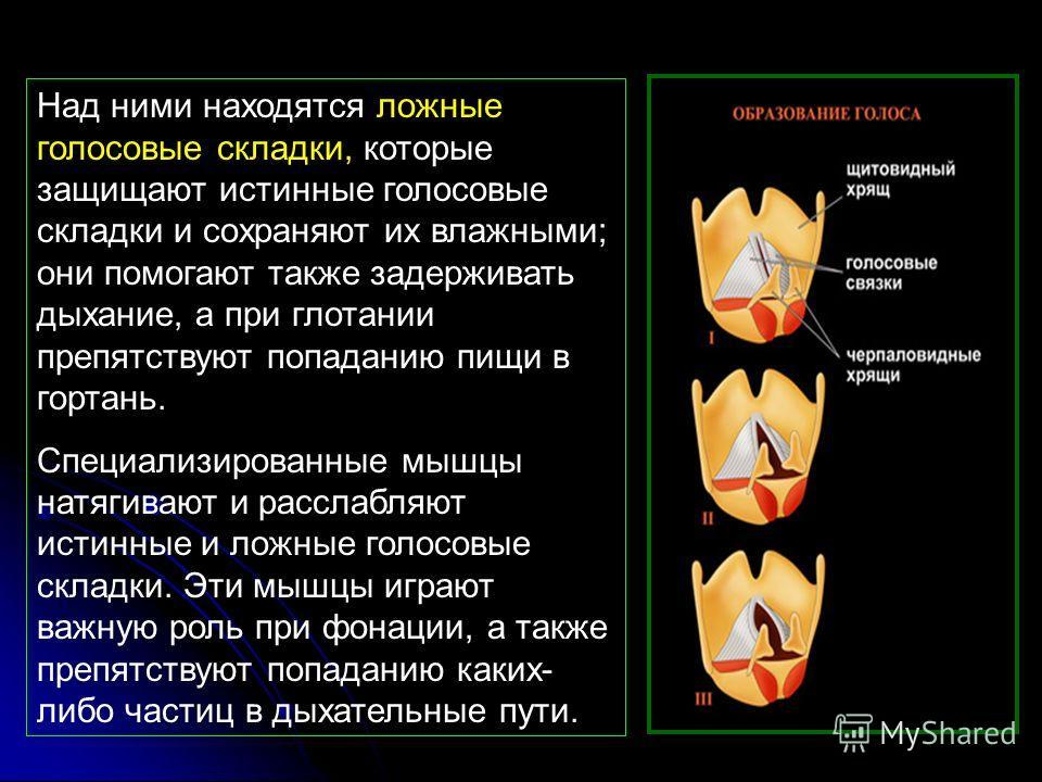 Над ними находятся ложные голосовые складки, которые защищают истинные голосовые складки и сохраняют их влажными; они помогают также задерживать дыхание, а при глотании препятствуют попаданию пищи в гортань. Специализированные мышцы натягивают и расс