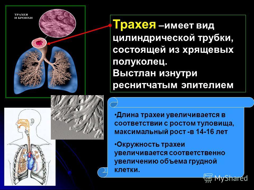 Трахея –имеет вид цилиндрической трубки, состоящей из хрящевых полуколец. Выстлан изнутри реснитчатым эпителием Длина трахеи увеличивается в соответствии с ростом туловища, максимальный рост -в 14-16 лет Окружность трахеи увеличивается соответственно