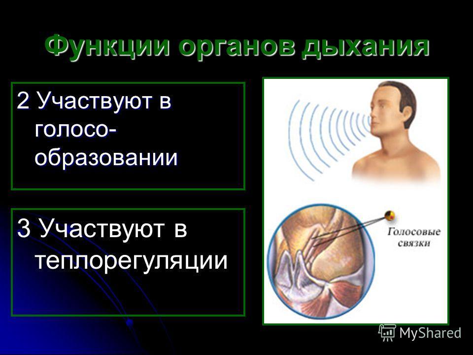 Функции органов дыхания 2 Участвуют в голосо- образовании 3 Участвуют в теплорегуляции